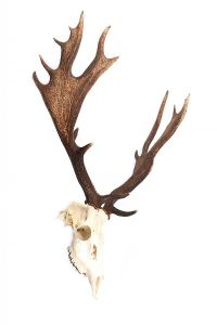 WALL MOUNTED HORNS & SKULL at Ross's Auctions
